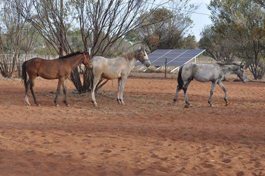 Alice Springs rescued brumbies
